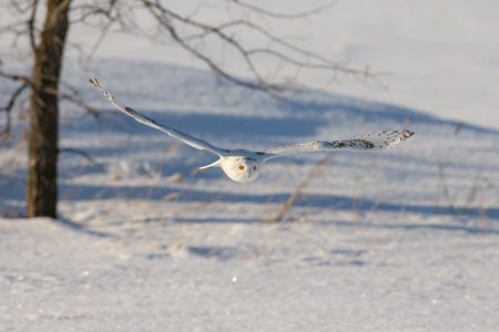 Snowy owl (bubo scandiacus) flying low over a snow-covered field with wings outstretched and eyes locked on its prey.