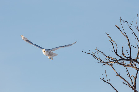 Snowy owl (bubo scandiacus) shortly after leaving a tree while hunting.  Bird is flying toward its prey with wings outstretched and eyes locked.  Unique image.