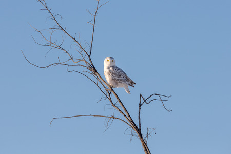 Snowy owl (bubo scandiacus) perched in branches in the winter while hunting.  Birds eyes are wide open and alert.