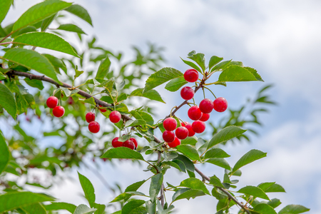 Ripe, red cherries hanging from a cherry tree branch.  Vibrant natural colors.