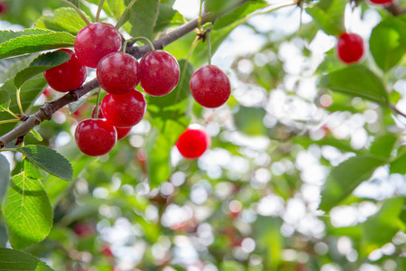 Ripe, red cherries hanging from a cherry tree branch.  Selective focus on the cherries to allow for copy space if needed.