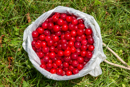 Pail full of freshly picked cherries sitting on the ground and seen from above. Stock Photo