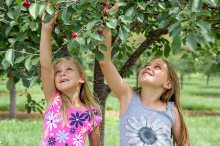Two girls looking and reaching up while picking cherries in a cherry orchard.