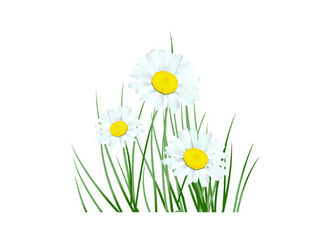 margerite: daisy Illustration
