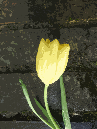 stock photo   tulip: Tulip