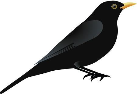 Blackbird  Vecteurs