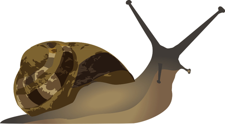 mollusc: snail Illustration