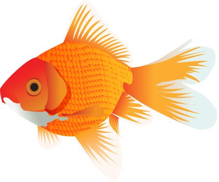 Goldfish illustration Illustration