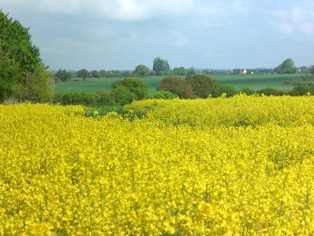 Field of Rape Suffolk Zdjęcie Seryjne