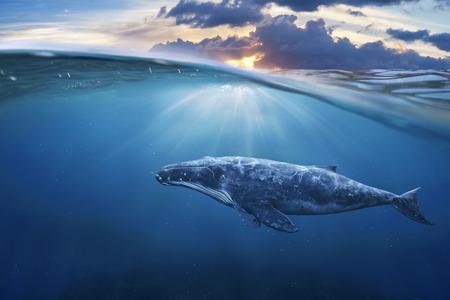 baleine: baleines dans la moitié de l'eau Banque d'images