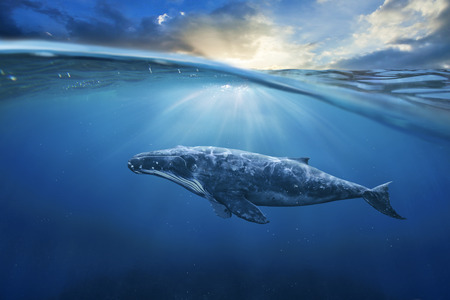 whale underwater: whale in water