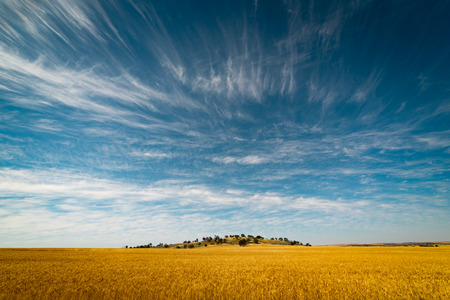barley head: Field of Golden wheat under the blue sky and clouds