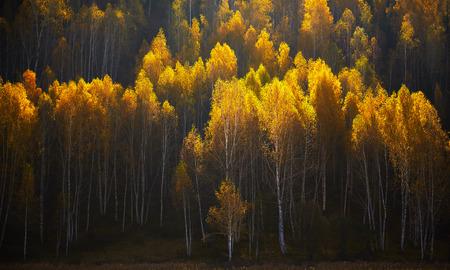 中国新疆の色の秋の森、風景。