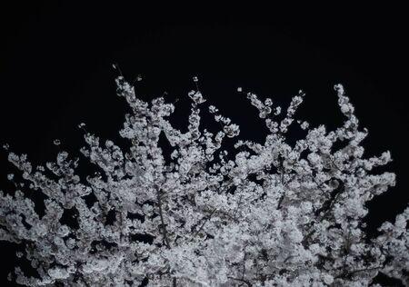 Cherry blossom on a tree against a dark sky
