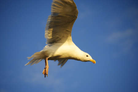 seagull flying down to the beach for food photo