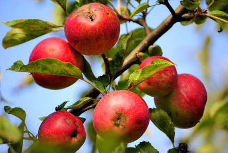 Beautiful Apples with Scars