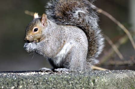 sunflower seeds: Squirrel eating sunflower seeds Stock Photo