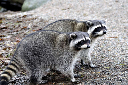 furry tail: Raccoon Couples Stock Photo
