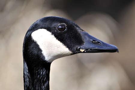 Head of Canada Goose photo