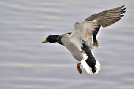 flying mallard photo
