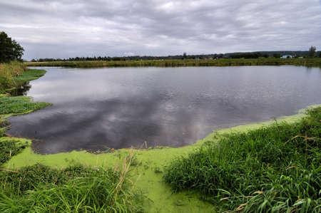 duckweed: green grass around the pond Stock Photo