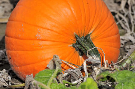 ripe pumpkin in the field Stock Photo - 10896159