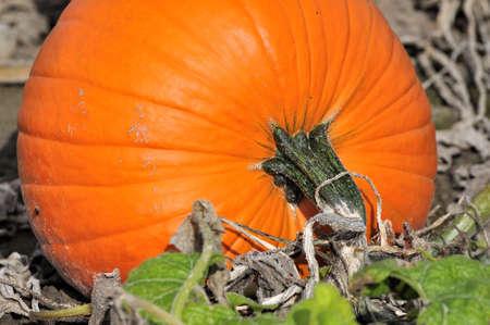 ripe pumpkin in the field Stock Photo - 10896159