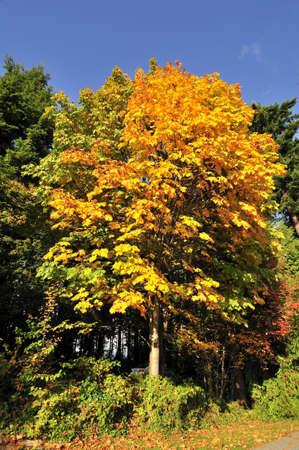 fall foliage against blue sky photo