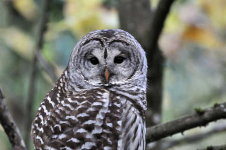 barred: barred owl in a forest