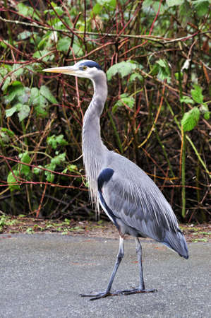 great blue heron walking in a park Stock Photo - 12411575
