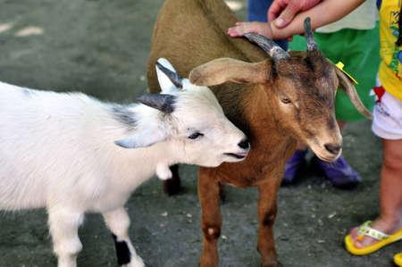 petting: children petting sheep