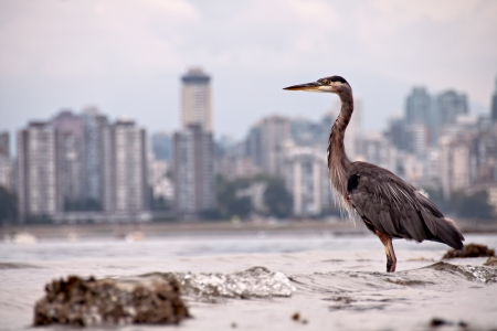 Heron in front of Vancouver skyline across Burrard inlet, shows nature thriving in an urban environment