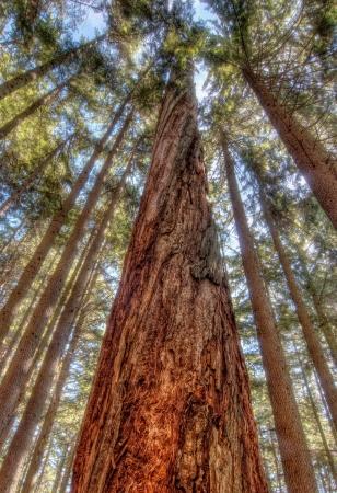 Genomen in West Vancouver, waar de meeste oude groei bomen bijna een eeuw geleden werden gekapt