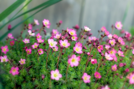 Many small pink flowers with shallow depth of field and middle of flower bed in focus  Stock Photo
