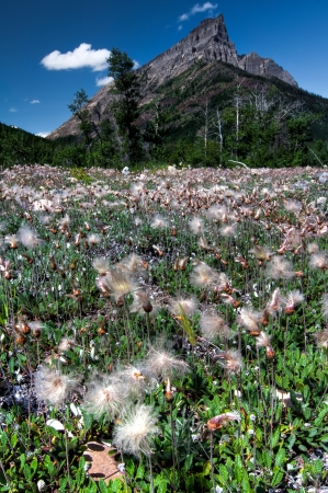 seeding: This field of seeding flowers is the perfect foreground for the mountain in the background