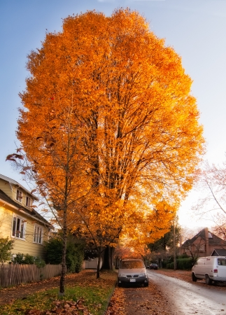 Huge orange leaved autumn tree along road with parked car underneath