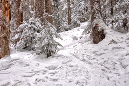 Marked snowshoe trail leads through snow covered trees  photo