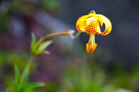 Tiger Lily  Lilium columbianum  in the wild with stem out of focus