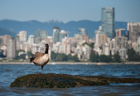 bc: Canadian goose looking in front of Vancouver skyline