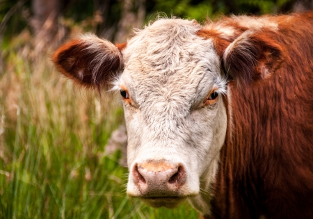 Closeup of a brown cow standing in a pasture