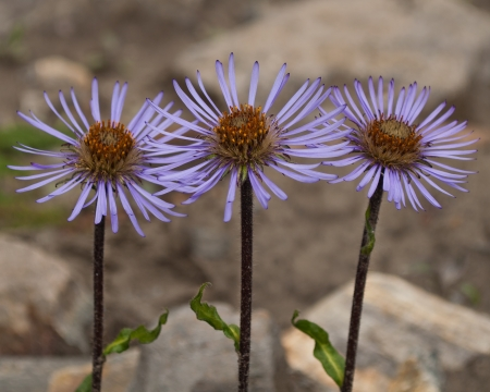 Purple flowers with shallow depth of focus and grey background