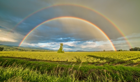 rainbow scene: Tree in a blueberry field under a double rainbow