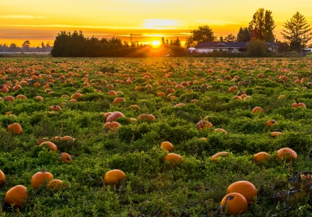 Pumpkin Patch mit Sonnenuntergang im Hintergrund Standard-Bild - 23073835