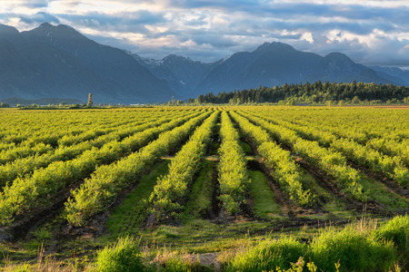canada agriculture: Mountains with a green blue berry field Stock Photo