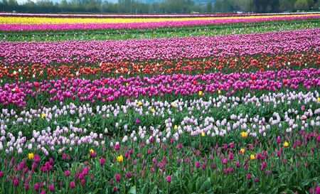 Different colored tulips in a field on a farm Stock Photo