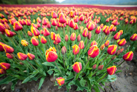 Wide angle shot of tulips in a field