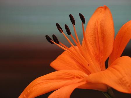 oranje lelie: Oranje Lily Stockfoto