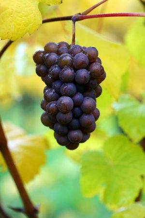 pinot: Fall Pinot Gris Grapes