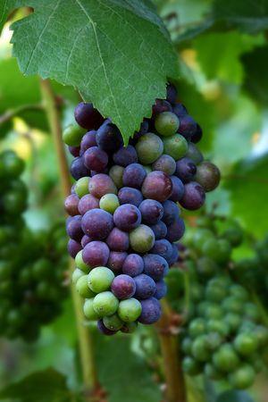 pinot noir: Pinot Noir Grapes During Veraison