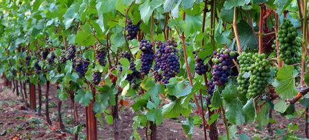 pinot: Pinot Noir Grapes During Veraison